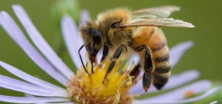 زنبور عسل اهل کدام قاره است