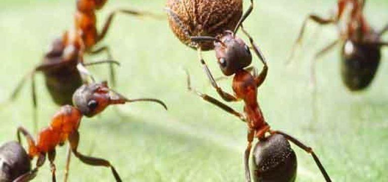 تغییر شغل مورچه ها با افزايش سن!